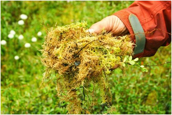 Plantar Musgo. Excellent Img With Plantar Musgo. Musgo Sphagnum ...